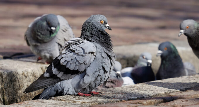Taubenhäuser für mehr Tierschutz in Bochum